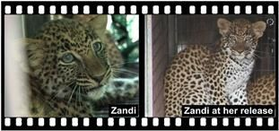 SHAYAMANZI Leopards Zandi (Part 1 of 2) - May 2014 Wildland Article