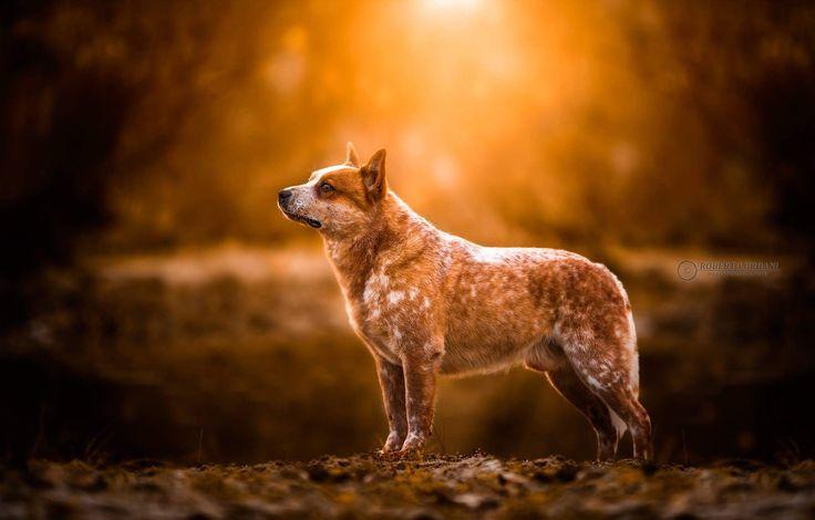 Australian Cattle Dogs | Австралийская пастушья собака | Австралийский хилер