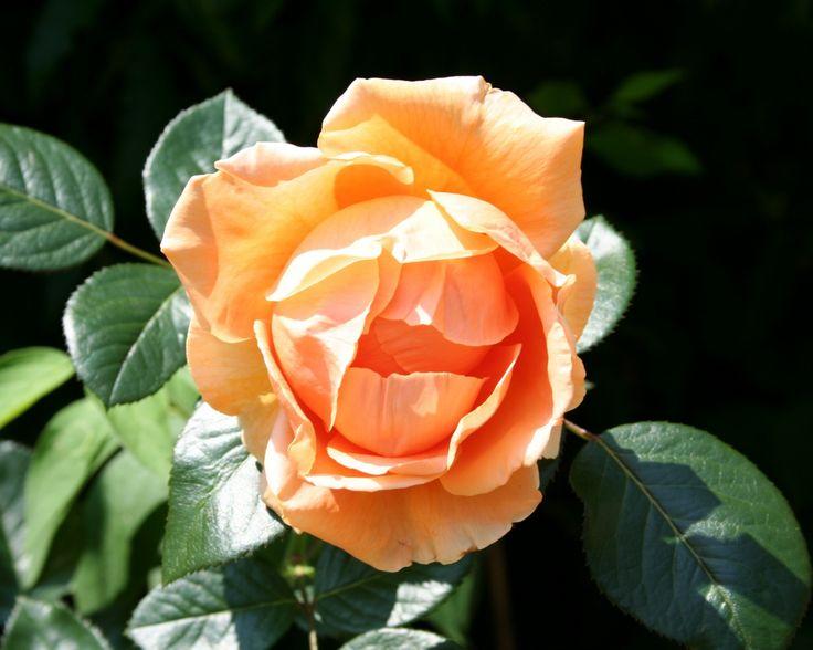1280x1024 Обои роза, цветок, бутон, листья, крупный план