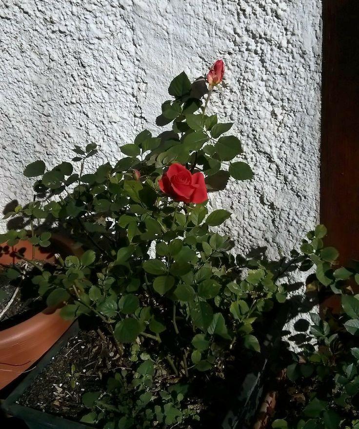 Rosas a principio de Febrero, a pesar de noches a -3º C Todo un lujo.