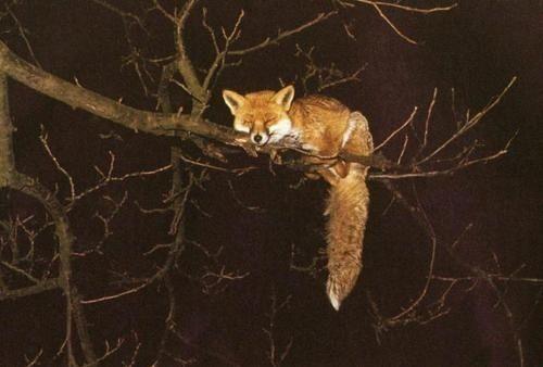 Fox asleep in tree