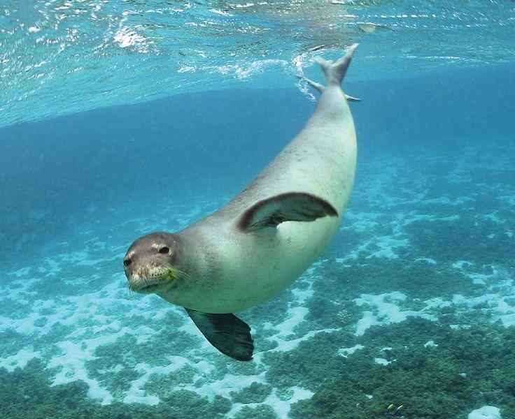 Hawaiian monk seal. They just always look like they're having fun.