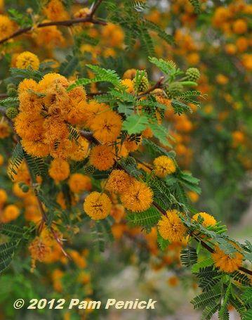 huisache (Acacia farnesiana)