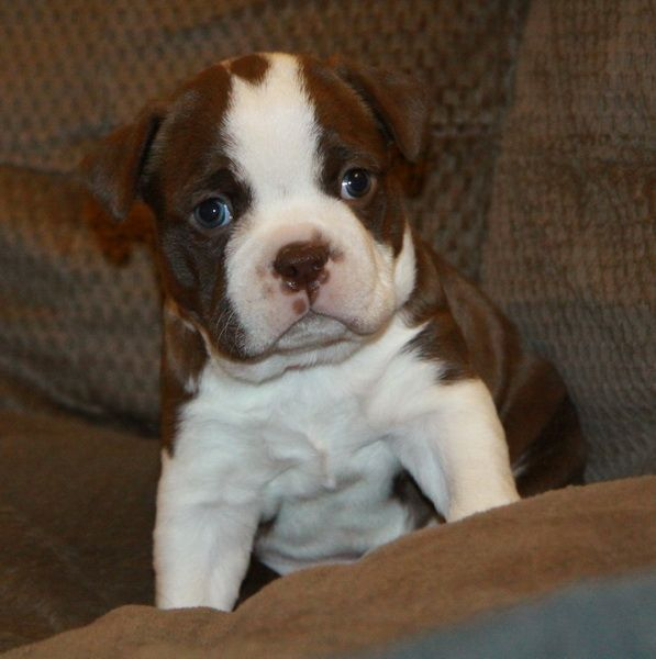 Pure Boston Terrier puppy - brown and white