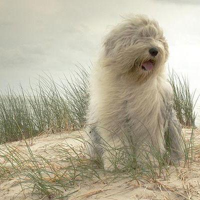 Old English Sheepdog Dog Breed - Old English Sheepdog Profile