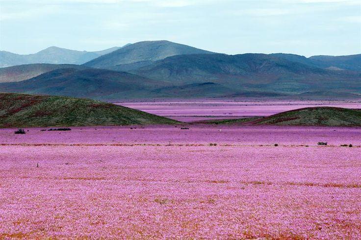 A cada cinco ou sete anos, o árido deserto de Atacama é transformado em um enorme tapete rosa. O fenômeno é causado após fortes chuvas atingirem o norte do Chile por vários meses consecutivos. Neste ano, porém, a floração surpreendeu. Foi a maior dos últimos 18 anos. São 750 quilômetros cobertos por flores rosas  (Foto: EFE/Mario Ruiz)