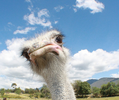 Ostrich Villa de Leyva Avestruz by Gigin, via Flickr