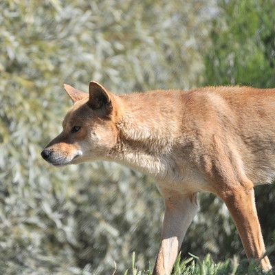 When were dingos introduced to Australia? 3500 years ago! Dingos were introduced to Australia from Southern Asia with one of the waves of human settlement thousands of years ago, when dogs were still relatively undomesticated and closer to their wild Asian gray wolf parent species. They developed features and instincts that distinguish them from all other canines.