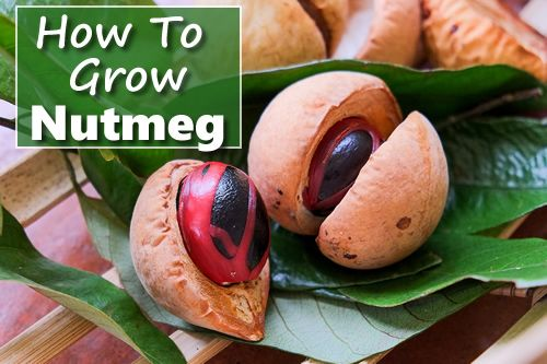 How To Grow A Nutmeg Tree From Seed - its the 2-in-1 plant... you get nutmeg and mace from it... #gardening #homesteading