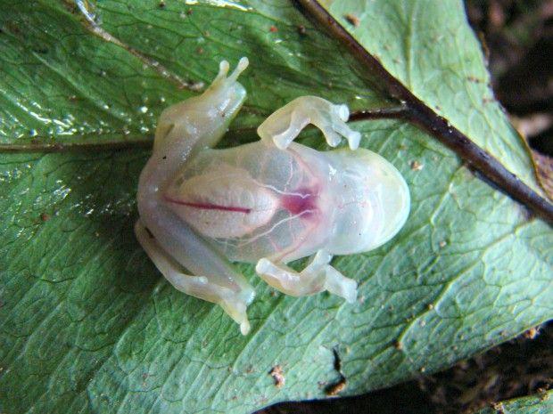 O pequeno anfíbio, que pode chegar até 24 milímetros de comprimento quando adulto, recebeu este nome devido à pele transparente (Foto: Marcelo Lima/Inpa)