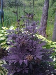 Stunning shade plant: Black Snakeroot. Hardy zones 4-8. Brings great contrast to any shade garden!