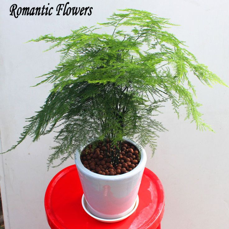 10 Particle/bag  Asparagus Fern Seeds (Asparagus Setaceus)--Small Bamboo Bonsai Setose Asparagus Plants , DIY Mini Pot Plant
