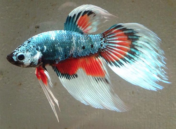 30 best images about betta on pinterest copper red and for Betta fish names male blue