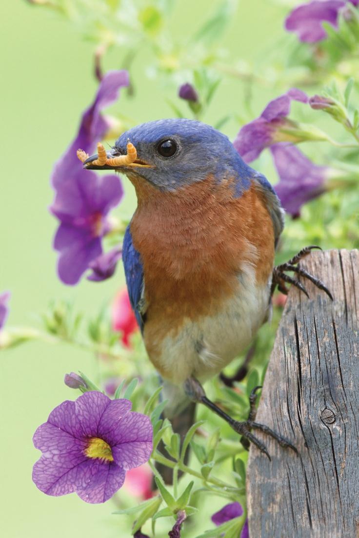 257 best beautiful bluebirds images on pinterest beautiful birds