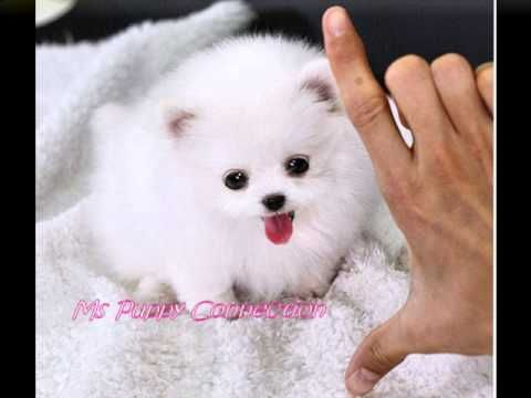 tiny teacup pomeranian puppies for sale best 25 pomeranian puppies for sale ideas on pinterest 4265
