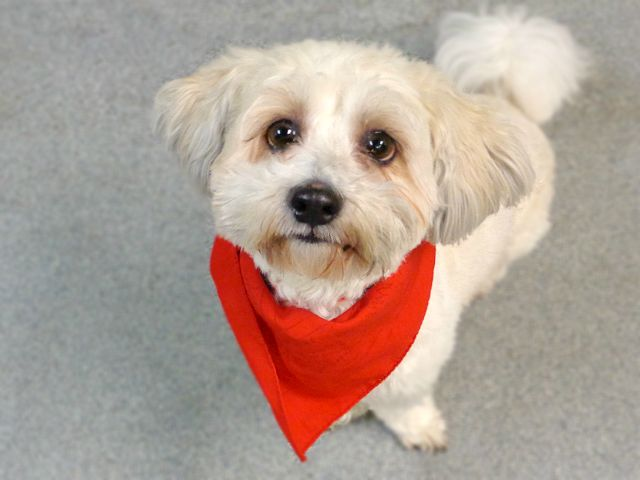SUPER URGENT  DJAY. A1078175. **NEW HOPE ONLY**I am a neutered male cream shih tzu and bichon frise mix. 5 YEARS old.- OWNER SUR