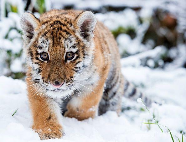 Dragan, un bébé tigre de Sibérie, se fraie un chemin dans la neige au zoo d'Eberswalde, en Allemagne, où il est hébergé. Né le 7 octobre dernier, il fait partie d'une des espèces de tigres les plus menacées au monde. - (Photo : Patrick Pleul/Agence France-Presse/Getty Images)