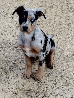 Louisiana Catahoula Leopard Dog - Google Search