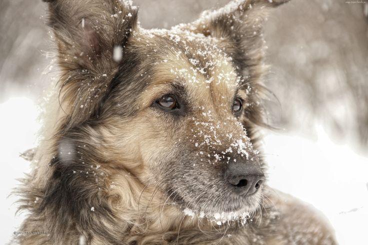 Pies, Suczka, Shila, Śnieg, Zima