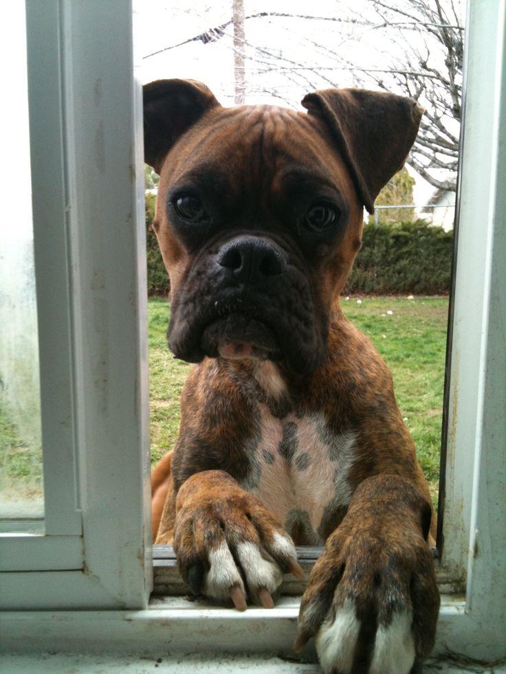 Two treats to go please. #BoxerDog