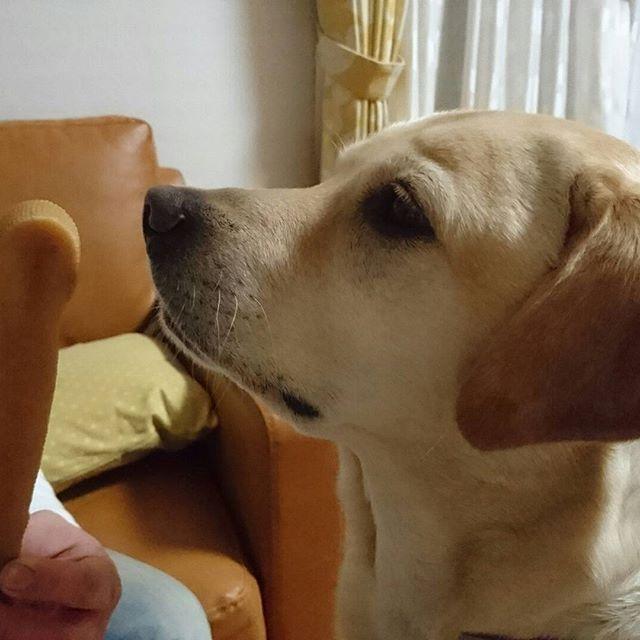 Dogs to endure.🐶Dad's meanness😂😂😂  *  耐える犬🐶とーちゃんの意地悪😂😂😂  *  #labrador #lab #labradorretriever   #wait #dog #doglife #yellowlab   #鼻についてますやん   #我慢する犬 #お利口さん   #ひまちー待ち  #ラブラドール大好き  #ラブラドールのいる暮らし   #ラブラドールレトリバー   #いぬすた #いぬのきもち