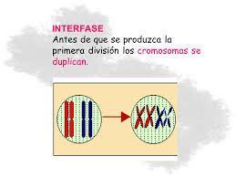 En la interfase se duplica el material genético. En meiosis I los cromosomas homólogos se reparten en dos células hijas, se produce el fenómeno de entrecruzamiento. En meiosis II, al igual que en una mitosis, cada cromátida migra hacia un polo. El resultado son cuatro células hijas haploides (n).