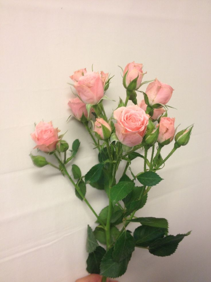 Greinrose - Rosa Lydia - Rosa