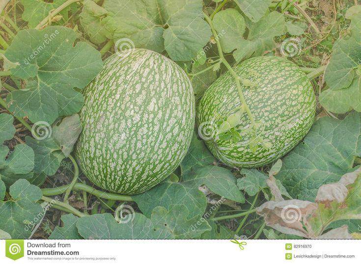 Watermelon And A Pumpkin Cross Stock Photo - Image: 82916970