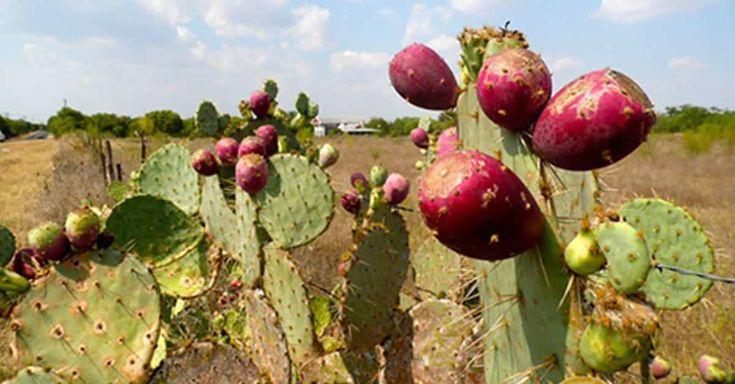 Lo has visto muchas veces, pero todavía no te has atrevido a probarlo. El higo chumbo o fruto del nopal tiene unas propiedades nutritivas excelentes y...