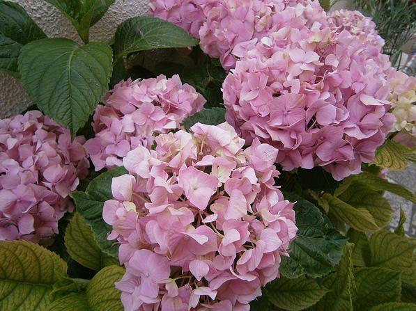 Pictures4Us   Hydrangea Macrophylla