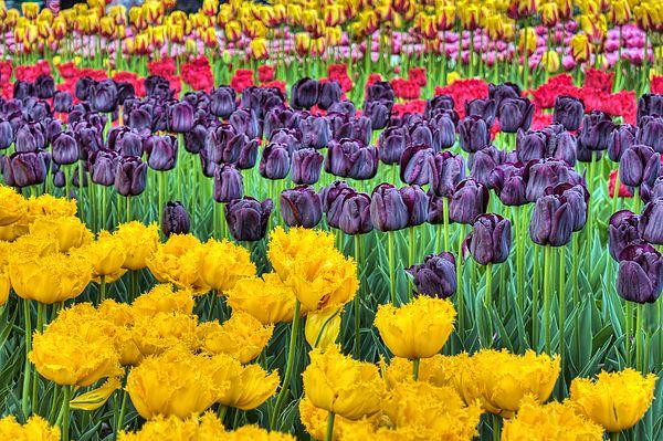Tulip Colors