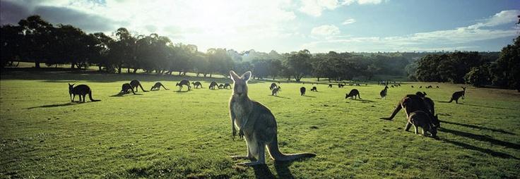 Melbourne, Australia Kangaroos!