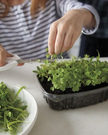 Snip and Serve --   Fast-growing sprouts and microgreens are small in scale and big on flavor -- perfect for gardeners short on patience.     Sow seeds in a repurposed takeout-food container. In a week or so, you'll have enough greens to garnish several dishes. .... and links on how to grow