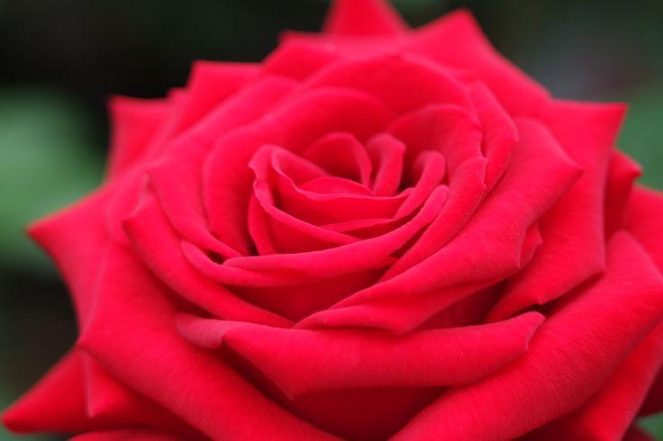 rosier grandes fleurs rouge sang parfum tr s puissant. Black Bedroom Furniture Sets. Home Design Ideas