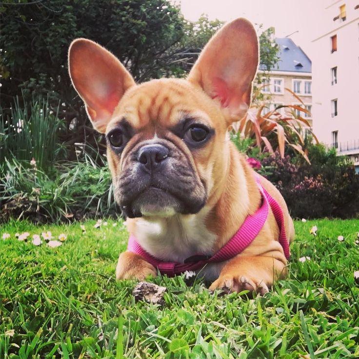 Bonjour moi c'est Luna - bébé bouledogue de 4 mois vivant sur Caen avec papa maman. Je suis très sociable et j'adore le parc !! #Caen #bouledoguefrancais #boubou #bouledogue #luna #bebe #chien #caen #adorable #collante #papamamangaga #parc #herbe #harnais #pink #coucou by boubouluna