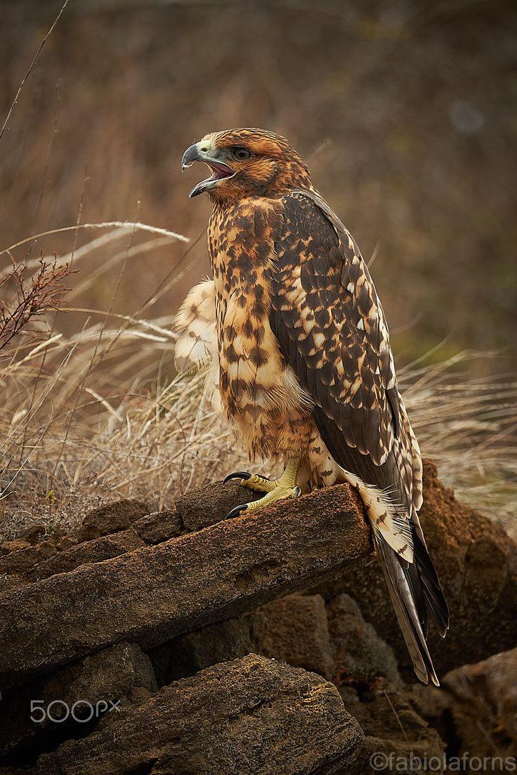 Galapaos Hawk - Juvenile Galapagos Hawk calling, Isla Santiago, Galapagos