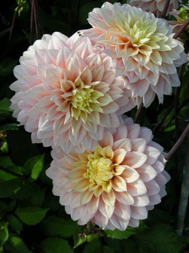 1307 best dahlias images on pinterest | flowers, plants and pretty