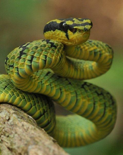 Sri Lankan green pitviper (Trimeresurus trigonocephalus) by reptile street photographer, via Flickr