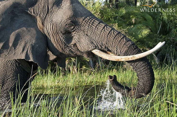 Seba Camp - As a baby, Seba starred in the Walt Disney movie, Whispers, which was filmed in the area. The word seba means 'whisper' in the local language. #Safari #Africa #Botswana #WildernessSafaris