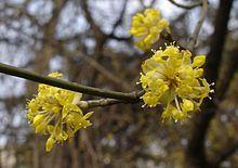 Cornus mas - Cornellian Cherry blossom.