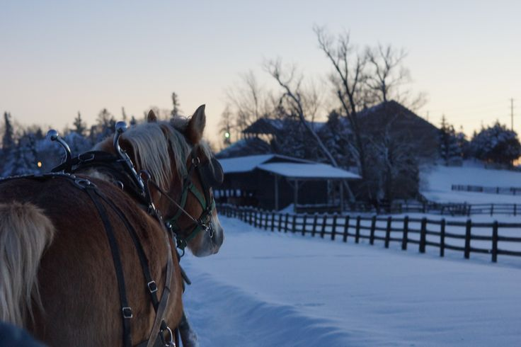 On the first day of Christmas...  Follow our story on Facebook  https://www.facebook.com/pages/Conestogo-River-Horseback-Adventures/300198049923  #DashingThroughTheSnow #SleighRides #WinterOnTheFarm #HorseDrawnSleigh #SleighRide #Waterloo #12DaysOfChristmas