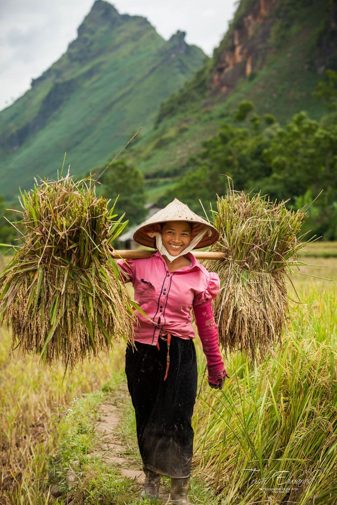 https://flic.kr/p/JnhgrT | Rice harvesting | Northern Vietnam