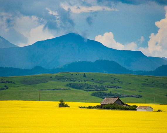 Fields with yellow canola flowers and Canadian Rocky mountains by Robert Crum