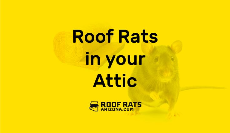 Roof Rats in your Attic