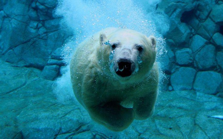 Животные, белый медведь, под водой, лёд обои, картинки, фото