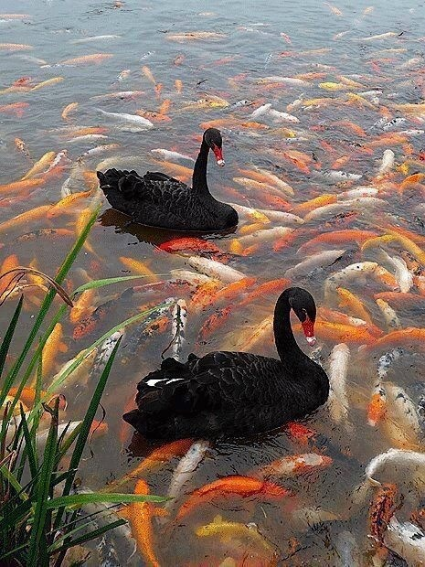 Beautiful: Nature, Koi Fish, Blackswan, Black Swan, Koi Ponds, Beautiful, Birds, Swimming, Animal