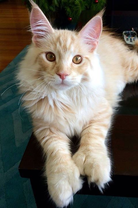 84 best images about Seven Toes and Counting....polydactyl ...  84 best images ...