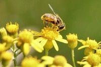 Bijenpollen superfood