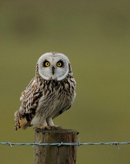 c...Short Eared Owl
