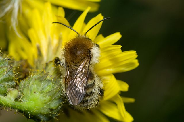 Bombus humilis Brown-Banded Carder Bee